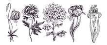 Garden Flowers Collection, Tiger Lily, Peony, Chrysanthemum, Tulip, Iris, Doodle Black Ink Drawing With Inscription, Woodcut Style
