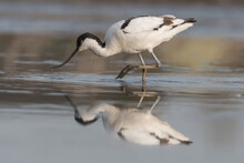 Pied Avocet (Recurvirostra Avosetta) Standing In Shallow Water Of The Wetlands And Is Looking For Food. , Photo Was Taken In The Netherlands.