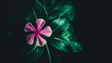 Pink Periwinkle Flower With Dark Green Leaves And Black Background