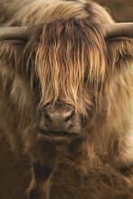 Close Up Of A Highland Cattle, A Bull With Long Horns And A Long Shaggy Coat
