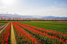 Field Of Tulips And Blue Sky