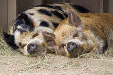 Snuggling Pigs