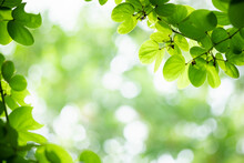 Amazing Nature View Of Green Leaf On Blurred Greenery Background In Garden And Sunlight With Copy Space Using As Background Natural Green Plants Landscape, Ecology, Fresh Wallpaper.