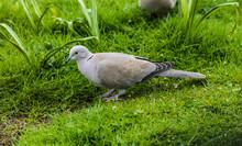 Collared Dove  --  Streptopelia  Decaocto