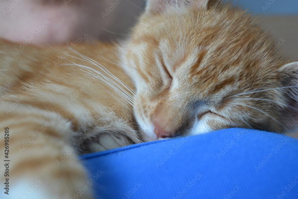Fototapeta Kot