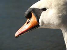 Mute Swan (Cygnus Olor) Close Up Of Swan's Head With Orange Beak, Gdansk, Poland