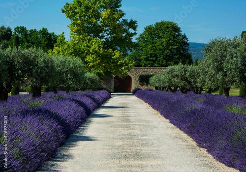 Fototapeta premium lawenda wąskolistna - lavender - Lavandula angustifolia