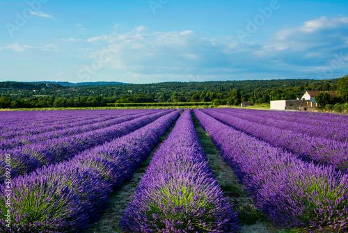 Fototapeta premium lawenda wąskolistna - lavender - pole lawendy -Lavandula angustifolia -lavender field