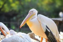 Close Up Shot Of Pelican Bird