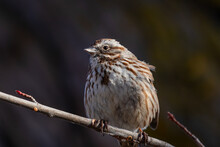 Song Sparrow Perched On A Branch Near The Boise River In Idaho