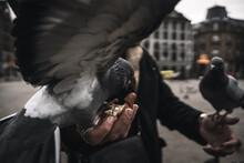 Tame Pigeon