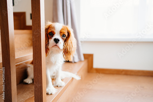 Fototapeta Cavalier King Charles Spaniel - a breed of companion dogs on the step of stairs