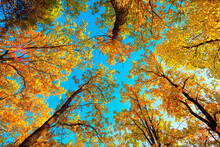 Beautiful Natural Autumn Landscape With A View From The Bottom To The Trunks And Tops Of Trees With Golden Bright Orange Autumn Foliage Against The Sky.