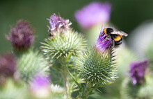 Native British Bee Covered In Pollen Forraging On A Bright Purple Thistle