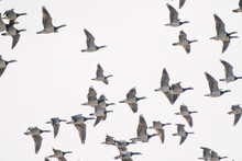 A Large Flock Of Geese Fly By, Above The Lake. Background, Silhouette