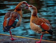 Red Billed Duck