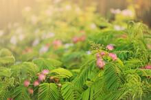 Mimosa Tenuiflora Pink Flowering Beautiful Tree In Cyprus,
