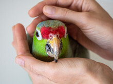 Portrait Of A Large Green Amazon Parrot In A Gentle Embrace. Rehabilitation Of Birds, Love For Parrots