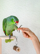 A Large Green Amazon Parrot Gives A Paw. Rehabilitation Of Birds, Training Of Parrots.