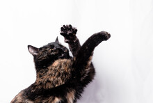 A Tricolor Cat Plays On A White Background, A Hunter Cat Reaches For Its Prey With Its Paws