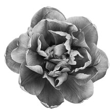 Beautiful Monochrome Blooming Parrot Tulip Head Against A White Background.