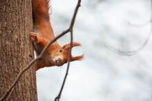 Eichhörnchen Kletternd Auf Baum Mit Blick In Die Kamera