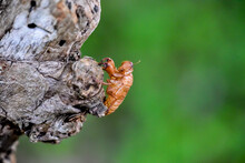 Macro Photograph Of The Remains Of A Cicada That Molts On A Tree. The Cicada's Bark Formed By Molting.