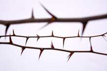 Photo Of Tree Spines On Acacia Branch Isolated On White Background