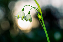 Spring Snowflake ( Leucojum Vernum )