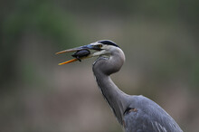 Great Blue Heron With Turtle
