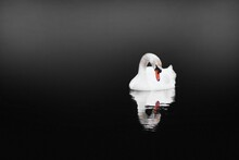 Swan (Cygnus Olor) Floating On Water In Foggy On Black Background. White Swan With Reflection