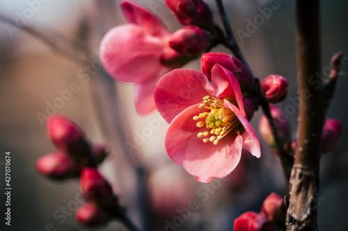 Valokuvatapetti Close up sur une branche de cognassier du japon en fleur et arrière plan flou