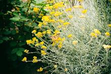 Yellow Beautiful Little Flowers In The Garden
