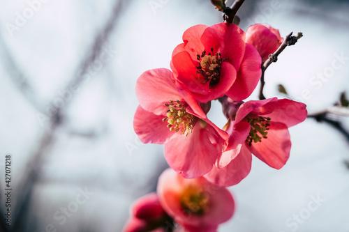 Valokuva Close up sur une branche de cognassier du japon en fleur et arrière plan flou