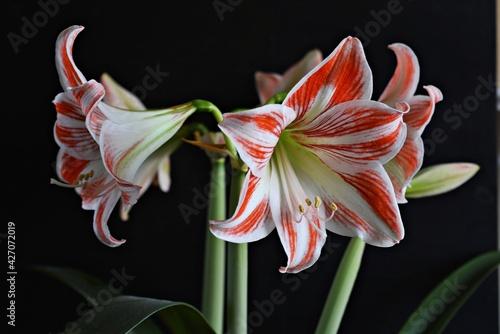 Obraz Amarylis kwiat,kwiat, lilia, charakter, roz, roślin, jary, kwiat, biała, kwiat, amarylis, piękne, kwiatowy, beuty, kwiat, flora, czarna, jardin, bliska, czerwień, lato, kwitnienie, feuille - fototapety do salonu