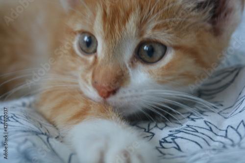 Fototapeta Kociątko mały rudy kotek obraz