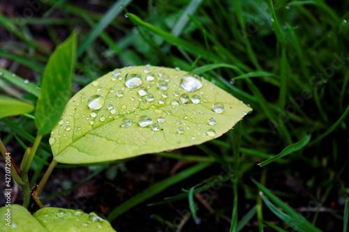 Fototapeta liść z rosą obraz