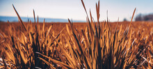 Beautiful Environment Yellow Wheat Field Landscape. Country Agricultural Crop With Clear Blue Sky Background.