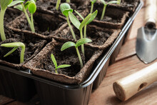 Young Green Seedlings Of Cucumbers Or Gherkins And Zucchini In Peat Pots And Gardening Tools On The Wooden Surface, Home Gardening And Connecting With Nature Concept