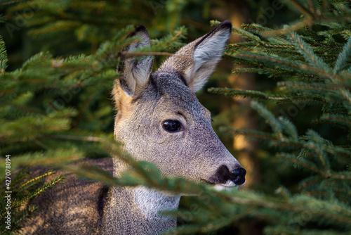 Obraz na plátně Roe deer in spruce forest, Capreolus capreolus