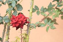 Rosa Roja Con Espinas Y Fondo Rosado