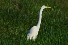 Snowy Egret In The Grass