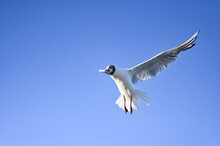 Flying Seagull In The Sky At Boltenhagen, Baltic Sea