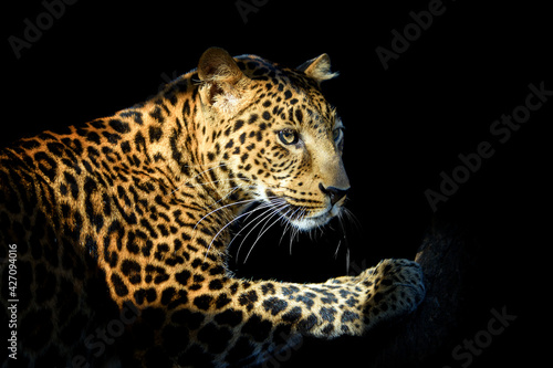Close up angry big leopard isolated on black background Fototapeta
