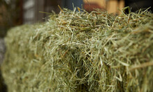 Hay. Detail Shot. Normal Perspective. Hay Is The Dried Above-ground Biomass Of Grassland Plants Such As Grasses, Forbs, And Legumes. It Is Usually Used As Fodder For Livestock And Domestic Animals.