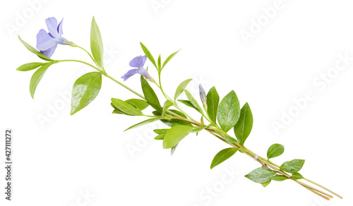 Photo Composition from blue periwinkles on white background