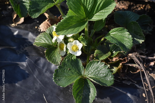 Photo Strawberry Plant with Blooms