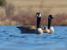 A Couple Of Canada Geese