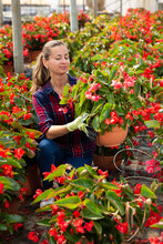 Portrait Of Successful Woman Farmer Working In Greenhouse, Checking Blooming Begonias In Pots