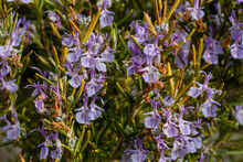 Salvia Rosmarinus. Rosemary, Detail Of Its Branches With Flowers.